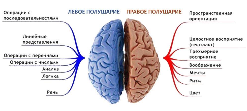 левое и правое полушарие
